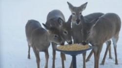 Supliment de hrană pe vreme rece pentru sălbăticiuni