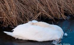 Două sute de lişiţe şi 12 lebede moarte din cauza frigului la Vadu