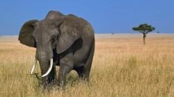 Peste 2,500 de elefanţi au fost ucişi pentru fildeş, doar în 2011