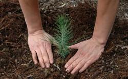 250 de voluntari din Ciorani alături de angajaţi ai Direcţiei Silvice Prahova şi ai primăriei participa la împădurirea a 23 de hectare