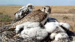 Societatea Ornitologica Romana monteaza cuiburi artificiale pentru a salva soimul dunarean, specie pe cale de disparitie