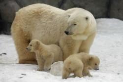 Urşii polari au mai trecut cu succes prin încălziri globale
