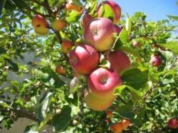Crenguţele tinere ale unor pomi fructiferi ( măr, prun, păr, vişin ) sunt remedii naturale mai puţin cunoscute