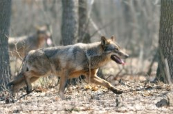 """S-a lansat proiectul """"Pe urmele carnivorelor mari din rezervația naturală Cheile Tișiței"""""""