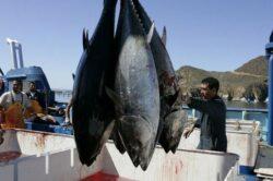Peşti radioactivi de la Fukushima, descoperiţi în apele teritoriale ale SUA