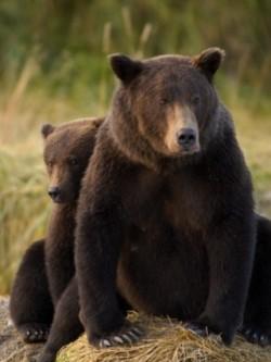 Urşii, lupii şi râşii din România au culoar de migraţie prin Judeţul Arad