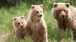A inceput evaluarea efectivelor de urs brun, lup, ras si pisica salbatica