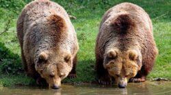 Romania are aproape jumatate din numarul de ursi bruni din spatiul UE