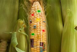 Timisul a devenit campion la cultura de porumb modificat genetic