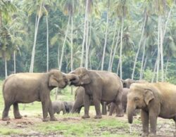 Elefantul african, o specie pe cale de disparitie? Zeci de mii de exemplare sunt ucise anual