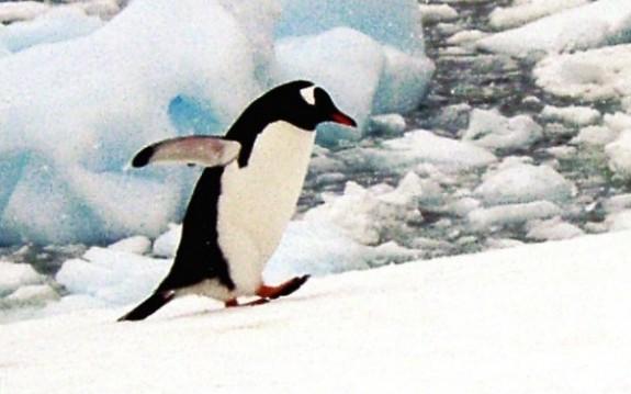 V-ati intrebat vreodata de ce nu zboara pinguinii?