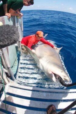 100 de milioane de rechini mor anual in plasele pescarilor