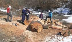 Bistrita: 12 milioane de euro din exploatarea lemnului, in 2012. Cel mai mult lemn exploatat, din padurile aflate in proprietatea primariilor