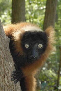Cele mai multe specii de lemurieni din Madagascar sunt in pericol. Care este planul de salvare
