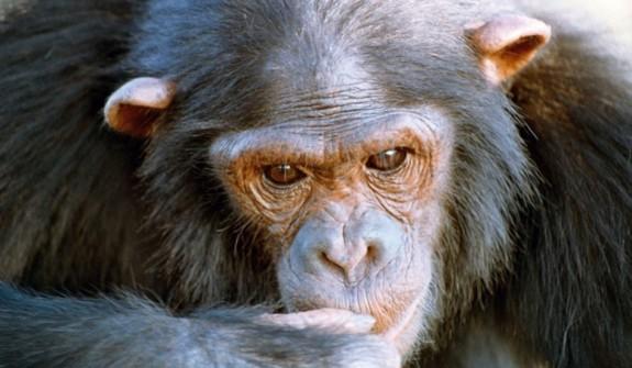 Inteligenta cimpanzeilor este in mare masura determinata genetic