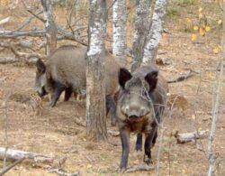 Rovana Plumb: Nu mai sunt probleme cu ursii, acum sunt probleme cu sacalii si mistretii din Delta
