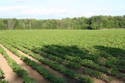 "Romania va cultiva soia nemodificata genetic: Min. Agriculturii a semnat declaratia ""Danube Soya"""