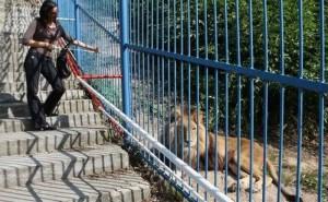 Comisia European?, îngrijorat? de gr?dinile zoo române?ti. Sunt vizate felinele mari de la Craiova ?i elefantul Tania de la Târgu-Mure?