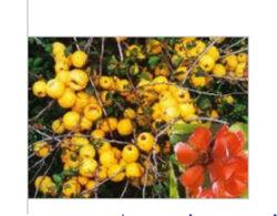 Plante decorative cu proprietăţi medicinale