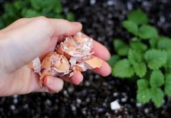 Fertilizarea legumelor cu coaja de ou