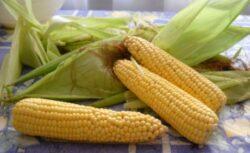 Franta interzice porumbul modificat genetic