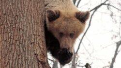 Cat costa, in Romania, placerea de a tortura un urs