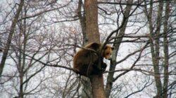 Ministrul Mediului: Nu există un număr clar în ceea ce priveşte populaţia de urşi din România