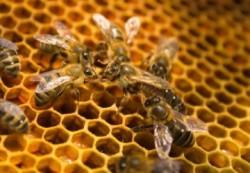 Greenpeace: Agricultura ecologica ar putea salva albinele