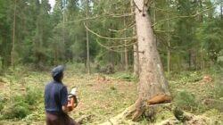 Taieri ilegale de arbori de peste 100 mc anchetate de IPJ Botosani pe raza comunei Hiliseu – Horia