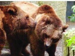 Un sfert din ursii din Europa traiesc in Romania: Covasna este judetul cu cei mai multi ursi, aproape 1.200 de capete