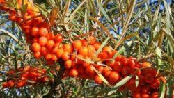 Plantele care te ajuta sa treci cu bine peste bolile de sezon