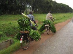 Produsele naturale, precum bananele, contin in mod natural E-uri
