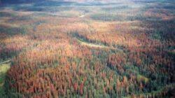 Arborii de pe 100 de hectare din Retezat, afectati de gandacul tipograf