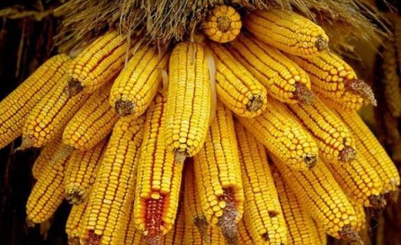 Pro Agro sus?ine cultivarea porumbului modificat genetic MG 1507 în România; EFSA confim? siguran?a consumului