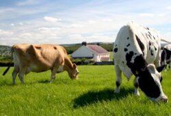 Agricultorii cu 10 oi, 2 vaci, 6 porci, 100 de pasari nu platesc impozit