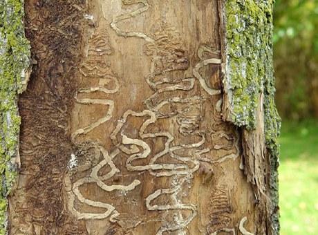 Ora de silvicultur?: casarea copacilor!