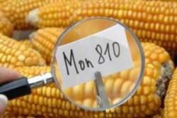 Monsanto a renuntat la cultivarea porumbului modificat genetic in aproape toata Europa