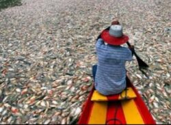 Mii de pesti morti au fost gasiti in apele lagunei Rodrigo de Freitas din Rio de Janeiro