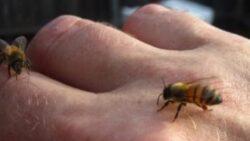 Veninul albinelor previne raspandirea HIV?