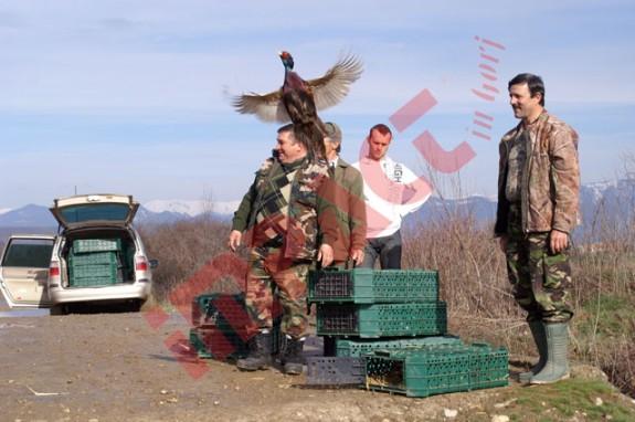 Peste 1.700 de fazani au fost lansa?i în zbor ieri, pe toate fondurile de vân?toare din jude?ul Gorj