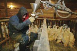 Vezi ce se intampla cu pasarile intr-o ferma producatoare de foie-gras!
