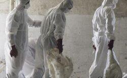Peste trei milioane de pasari au fost sacrificate din cauza epidemiei de gripa aviara din Mexic