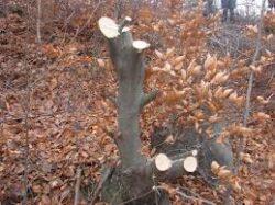 Se taie copaci ilegal in Delta Nerei