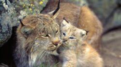 LISTA animalelor rare care ar putea sa dispara si din tara noastra