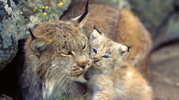 LISTA animalelor rare care ar putea s? dispar? ?i din ?ara noastr?