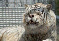 Dovada ca omul de stiinta mai si greseste! Iata-l pe Kenny, tigrul retardat!