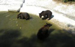 Coco traia, alaturi de doi ursi carpatini, in adapostul de peste 2.000 de metri patrati de la Zoo Bucov. FOTO arhiva Adevarul Ploiesti  Citeste mai mult: adev.ro/mjhln5