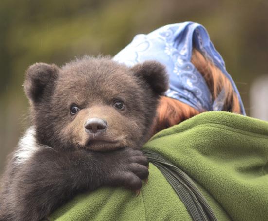 Câte exemplare de urs, lup ?i pisic? s?lbatic? pot fi vânate pe fiecare fond cinegetic din jude?