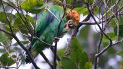 Specii noi de pasari descoperite in Amazonia