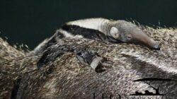 Cum a reusit un mamifer sa nasca fara sa se imperecheze